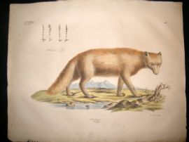 Goldfuss C1830 LG Folio Hand Colored Print. Arctic Fox